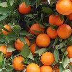 аджария апельсины